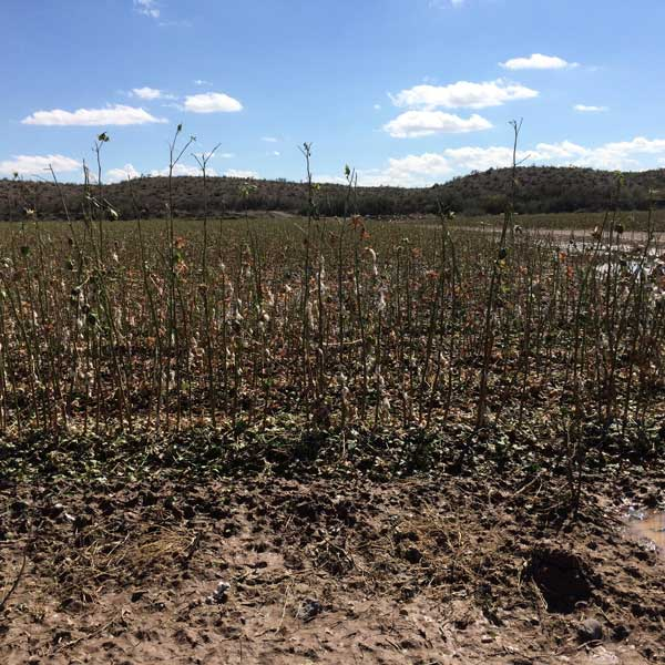 Photo By Kim Tyler: A cotton field in Solomon is ruined.