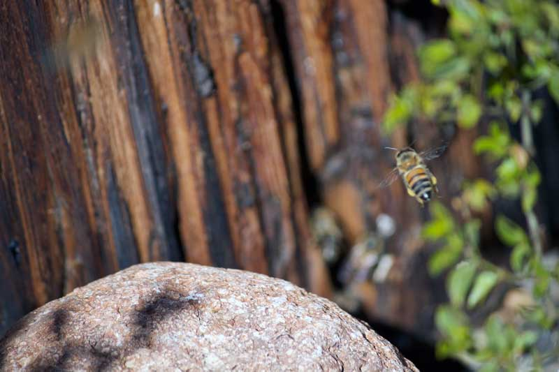 5db57d6a Jon Johnson Photo/Gila Valley Central: This bee was located near where the  incident took place. There are still numerous bees in the area foraging for  food, ...