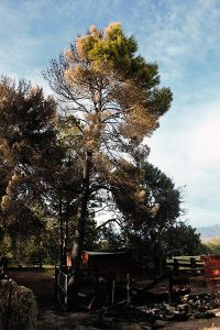 Jon Johnson Photo/Gila Valley Central: A neglected controlled burn caught this pine tree and corral on fire but quick action and sturdy building materials helped the resident escape with his home and life intact.
